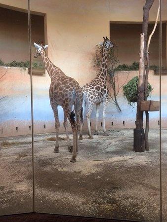 Prague Zoo: Giraffes are amazing!