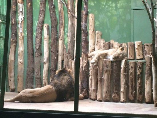 Prague Zoo: Lions