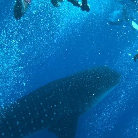 Kaani Beach Hotel : whale shark excursion