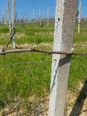 Agriturismo San Martino: Vigneti