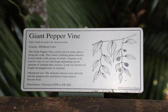 Sea Acres Rainforest Centre Port Macquarie: Giant Pepper Vine