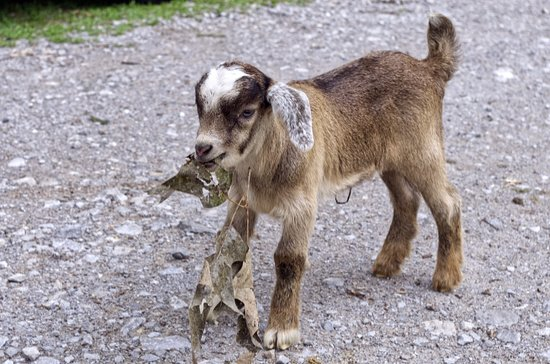 Millbrook, AL: One of the baby goats on the island