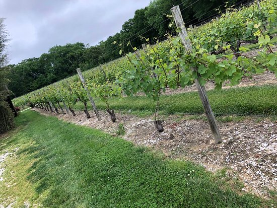 Cape May Winery: Vineyard from out front