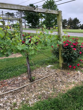 Cape May Winery: Directly off the road- view of the vineyard
