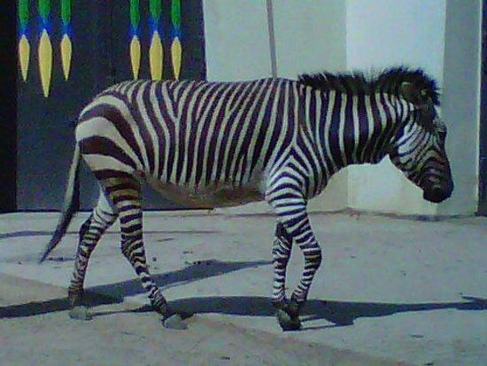 Antwerp Zoo (Dierentuin): zebra