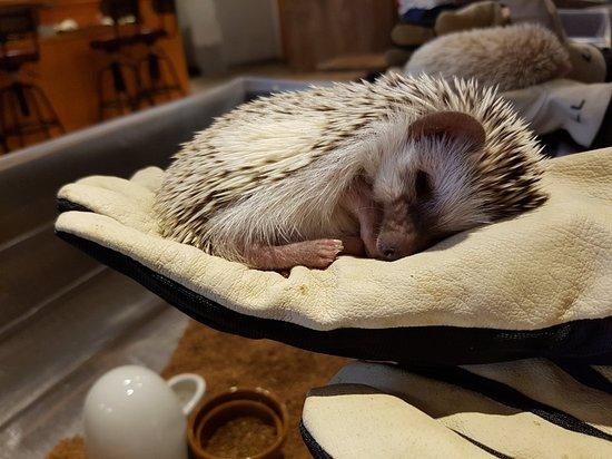 Hedgehog Cafe HARRY, Harajuku照片