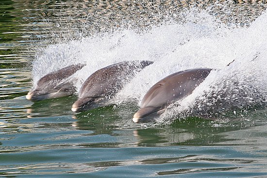 Grassy Key, FL: Learn more about the natural abilities of the dolphins.