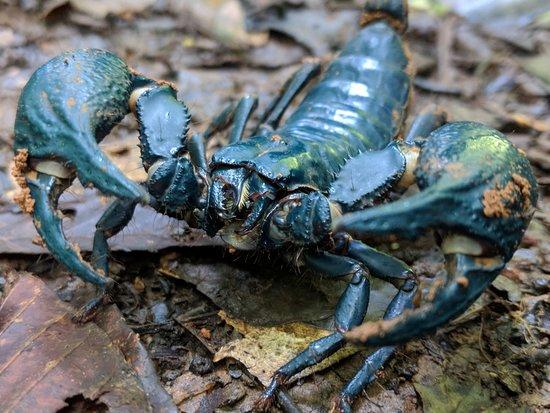 อุทยานแห่งชาติเขาใหญ่: scorpion