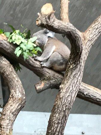 Zoo Zurich : Koala