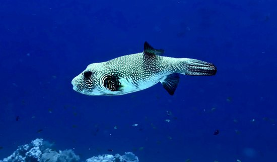 Ocean College Dive Centre: Lovely puffer!