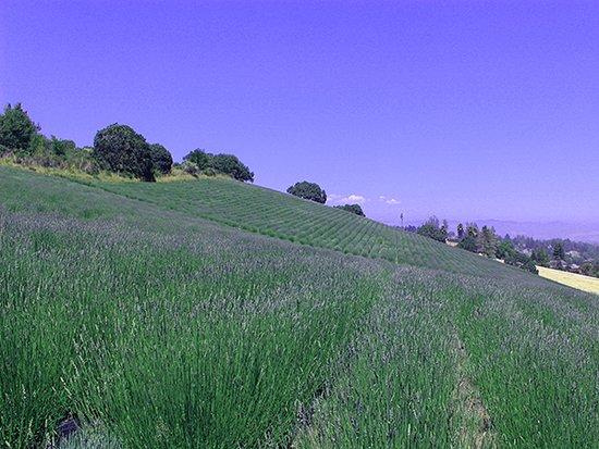 Monte-Bellaria Di California: June lavender festival and plant sale @ Monte-Bellaria