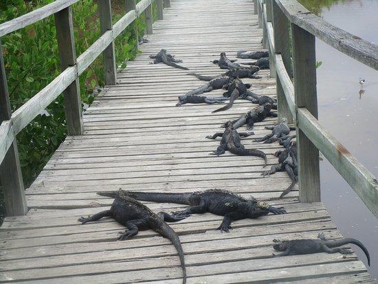 Iguana Crossing-billede