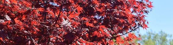 Wheaton, MD: Japanese Maple