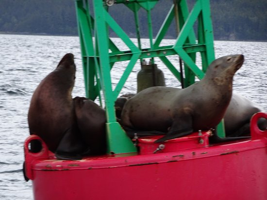 Gastineau Guiding: Some of the sea lions we saw..