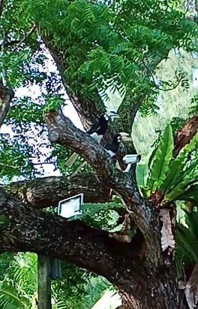 Pangkor Sandy Beach Resort: a few hornbills were seen at the resort.
