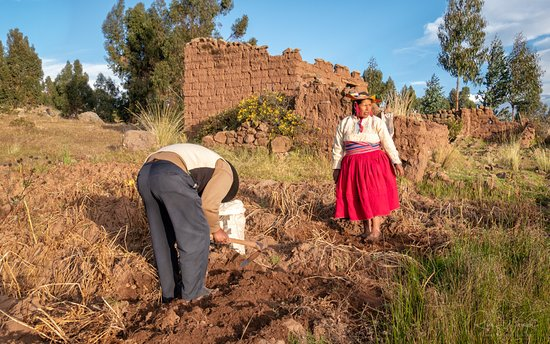 Titicaca For You: Digging potatoes in the feilds