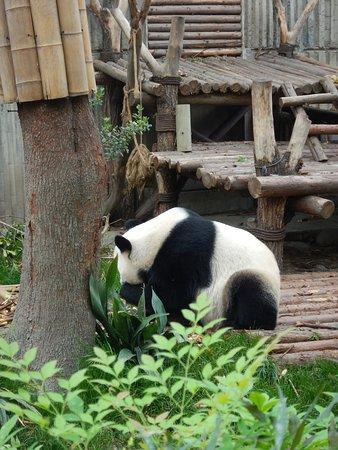 Giant Panda Breeding Research Base (Xiongmao Jidi): Shy panda