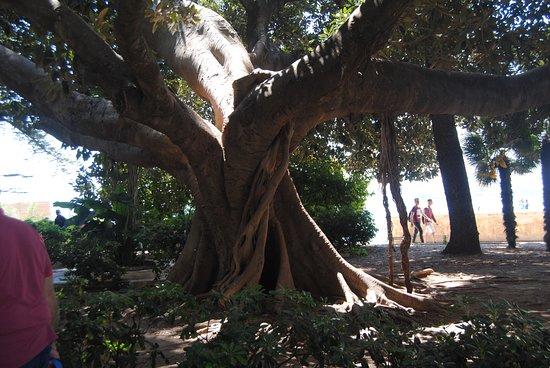 Ortigia: I secolari alberi