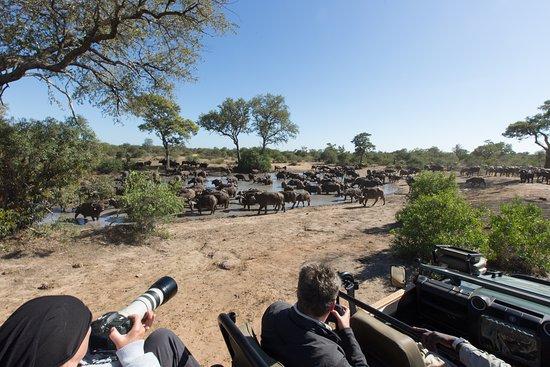 Timbavati Private Nature Reserve, Sydafrika: Umlani game drive breeding herd of Buffalo