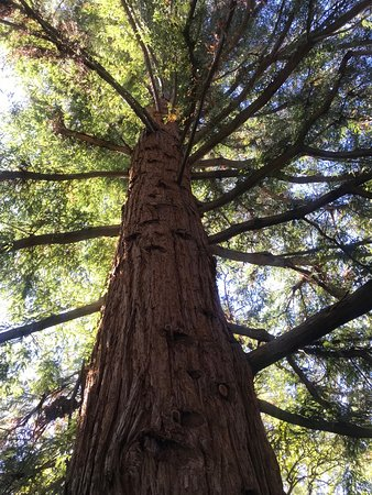 Stellenbosch University Botanical Garden: Giant Redwood!