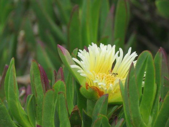Cape Point Nature Reserve: Cape Point flower