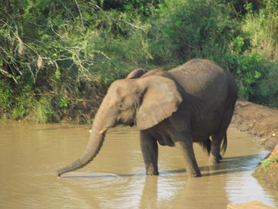Igwalagwala Guest House: Nearby hluhluwe imfolozi - Elephants