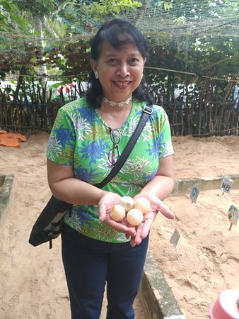 Kosgoda, Sri Lanka : Sea turtle eggs bought from fishermen