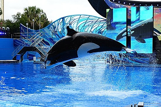 SeaWorld: Killer Whale jumping