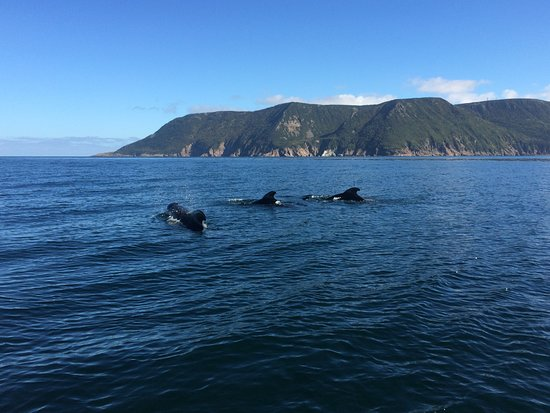 Bay St. Lawrence, Canada: Three pilot whales swimming towards the scenic caostline