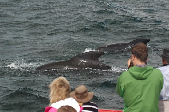 Bay St. Lawrence, Canada: Pilot whales passing us by