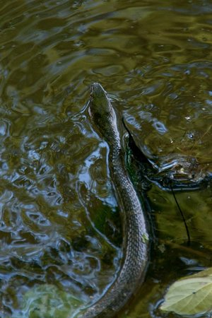 Great Falls Park : a water snake