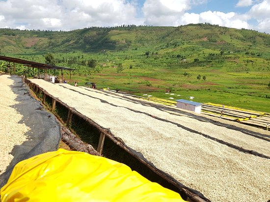Golden Rwanda Safaris: Our Coffee trips are well Designed to let our Clients enjoy and see alll process until we get it