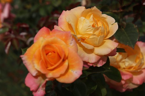Victoria State Rose Garden: yellow roses