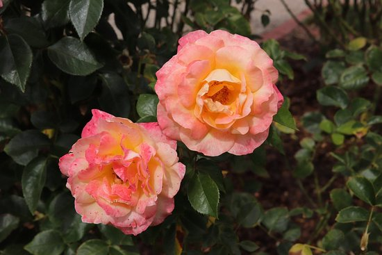 Victoria State Rose Garden: Colorful roses