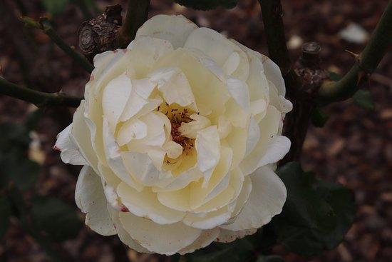 Victoria State Rose Garden: Light yellow rose