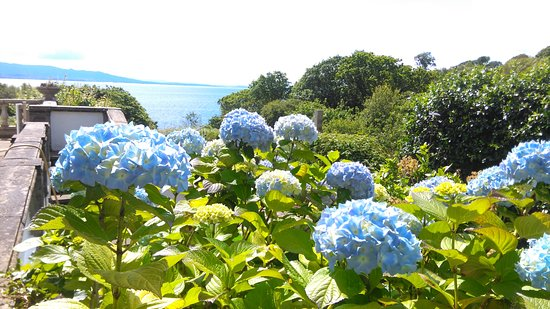 Ardvasar, UK: Hydrangeas in the garden, the same colour as the sea