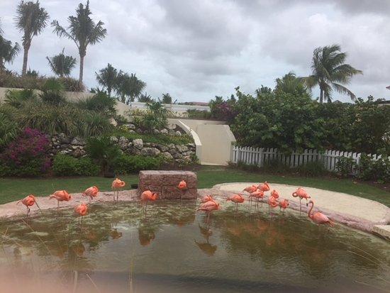Grand Hyatt Baha Mar : Amazing flamingos