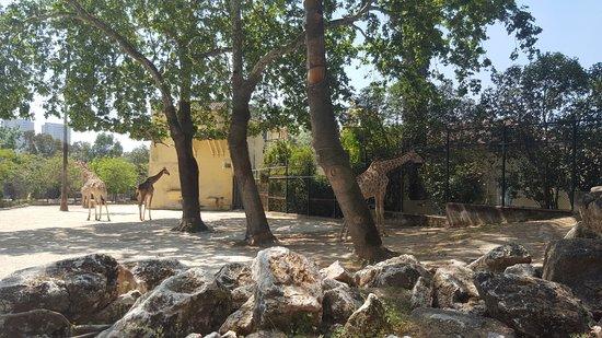 Jardim Zoologico: giraffe