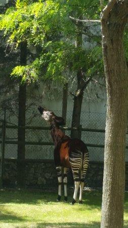 Jardim Zoologico: okapi