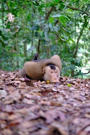 Jungle Kayak: Beruks at Bukit Lawang
