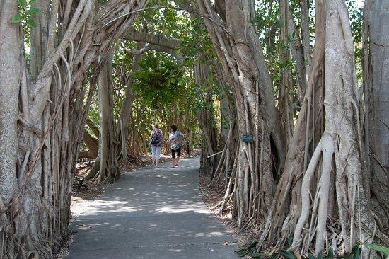 Marie Selby Botanical Gardens: Ficus altisima
