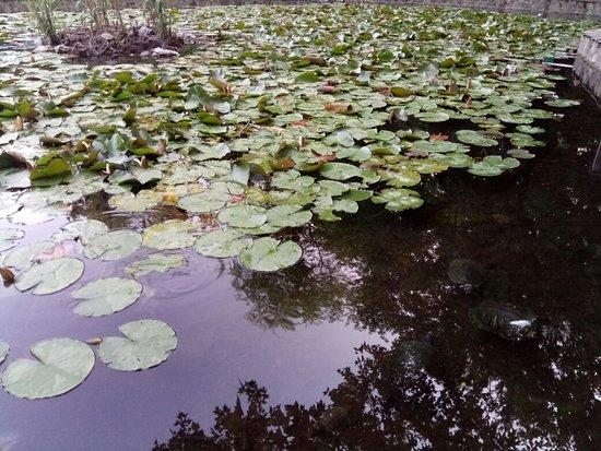 Lacul cu nufer Photo