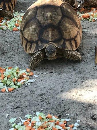 Cheetah's Rock: ploughshare tortoise