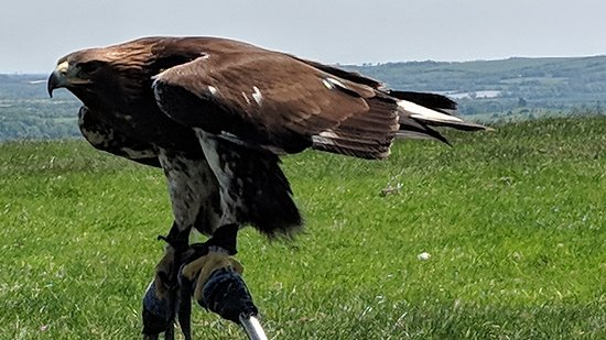 Julianstown, Ireland: Golden Eagle