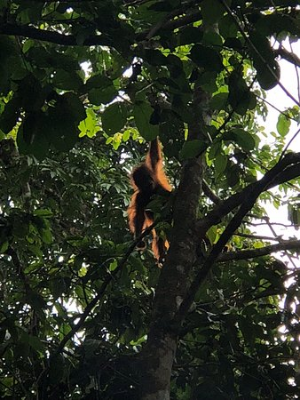 Kinabatangan District, Malaysia: The baby orangutan above our villa