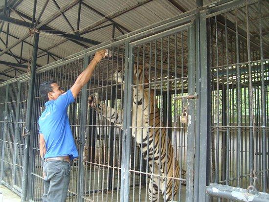 Phnom Tamao Wildlife Rescue Center: Feeding the tiger