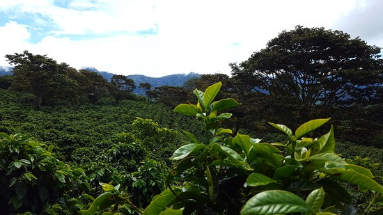 Finca Lerida: Coffee, almost as far as one can see