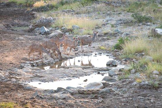 Nyala Safaris: Kudu at the waterhole