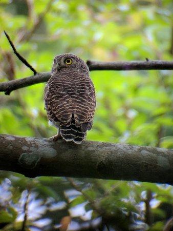 Sam Veasna Center for Wildlife Conservation (SVC): Asian Barred Owlet near Angkor Wat
