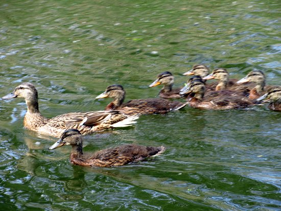 Big Dog Ferry: Ducklings on the River Waverley from the Big Dog....